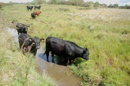 cattle in drain sediment silt