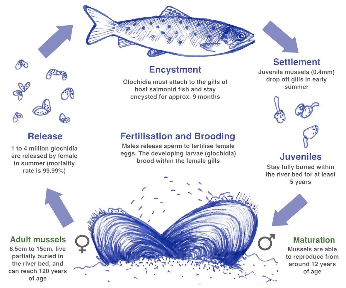 Freshwater Pearl Mussel | Freshwater Pearl Mussel Ireland | Pearl ...